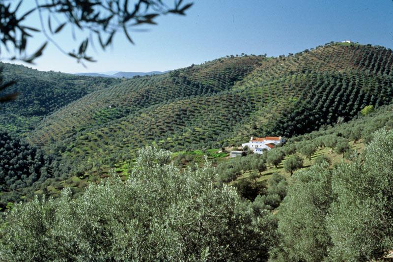 cortijos_sierra_morena olivar de sierra los pedroches aceite ecologico olipe olivalle