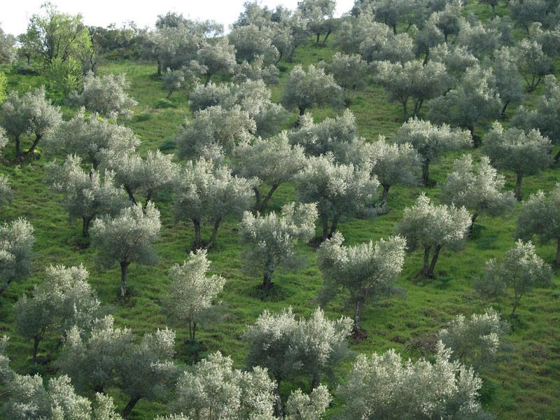 olivar_ecologico_los_pedroches