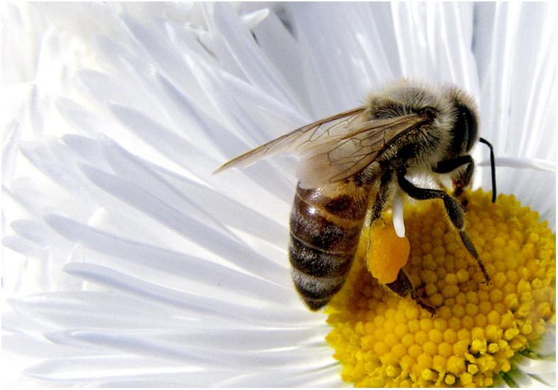 la muerte de las abejas amenaza la seguridad alimentaria mundial. Aceite Ecologico. Olivar de Sierra. Olivarera Los Pedroches