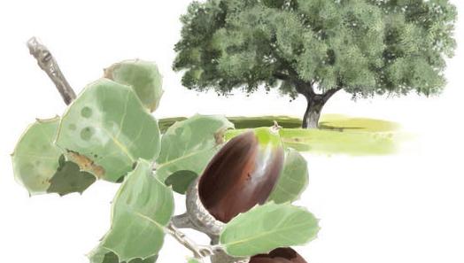 Encina o chaparra (Quercus ilex subsp. ilex) Olivar de Sierra Aceite Ecologico Olivarera Olipe Olivalle