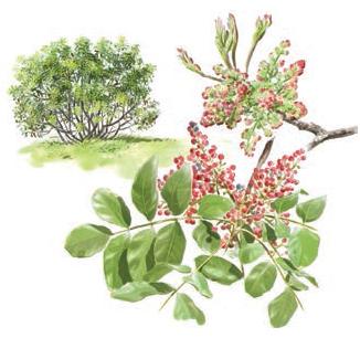 Cornicabra (Pistacia terebinthus) Acebuche (Olea europaea var. sylvestris) Olivar de Sierra Aceite Ecologico Olivarera Olipe Olivalle