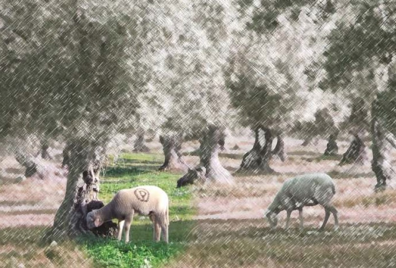 Manejo del Olivar Ecologico Sierra Los Pedroches Aceite Olipe Olivalle