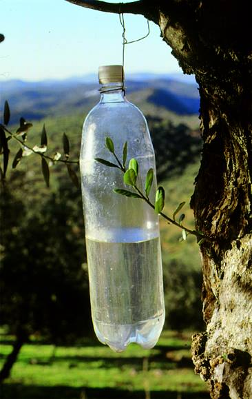 Trampa Olipe Olivar de sierra Los pedroches aceite ecologico olipe olivalle olivarera