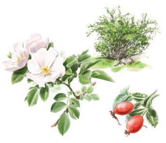 Rosal silvestre o escaramujo (Rosa canina) Olivar de Sierra Aceite Ecologico Olivarera Olipe Olivalle